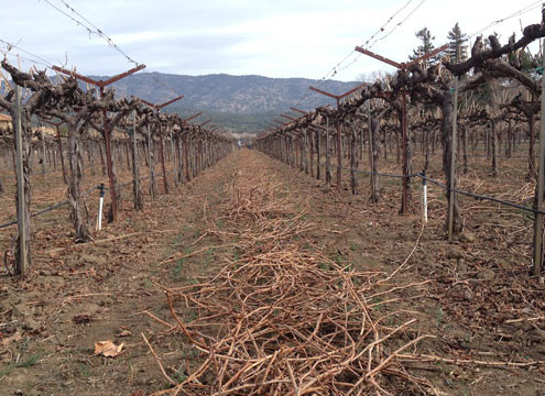 Fallowed California Vineyard