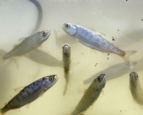 Juvenile Salmon