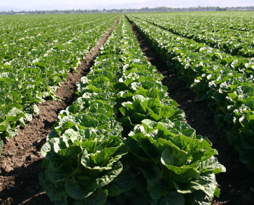 Romaine Lettuce Crop