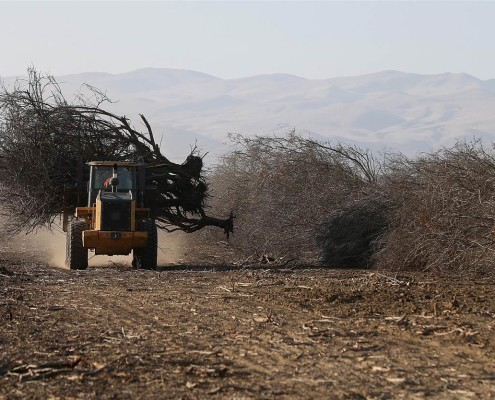 California Almond Farmers Forced to Uproot Trees