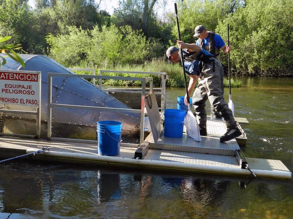 Ryan Cuthbert, front, a biologist with consulting firm Fishbio, and fishery technician Bob Fuller sample juvenile salmon in a rotary screw trap on the Stanislaus River near Oakdale, Calif., in April 2016. John Holland Modesto Bee
